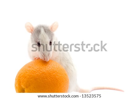 Rat with an orange on a lwhite background
