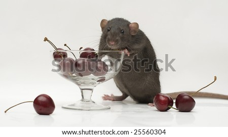 rat with berries - stock photo