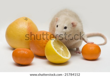rat with citrus fruit - stock photo