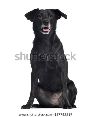 Ratier dog sitting and panting, 8 years old, isolated on white