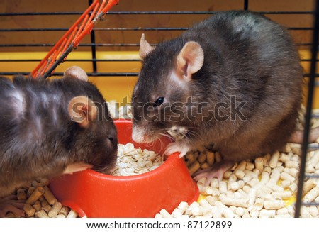 Rats in a cage eat a forage from a feeding trough - stock photo