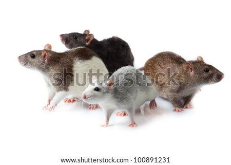 rats isolated - stock photo