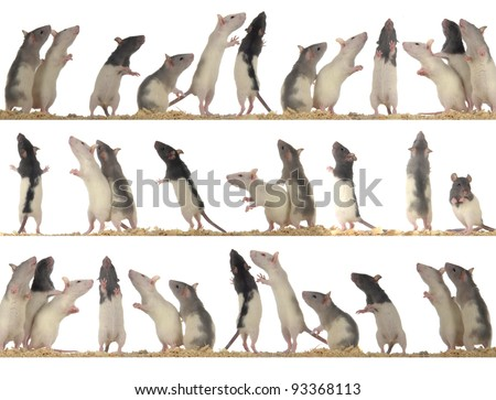 rats on white background - collection - stock photo
