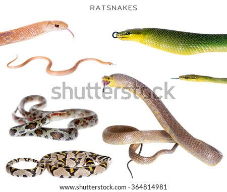 Ratsnakes set, isolated on white background - stock photo