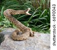 rattle snake coiled for attack - stock photo