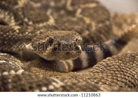 rattle snake in terrarium - stock photo