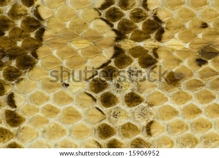 Rattle Snake Skin - stock photo