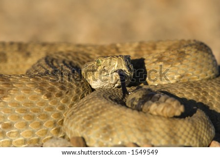 Rattlesnake close up (focus on the head) - stock photo