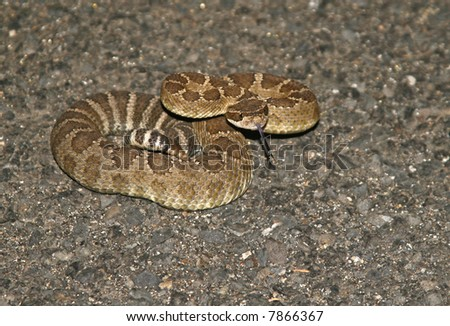 Rattlesnake coiled in the road