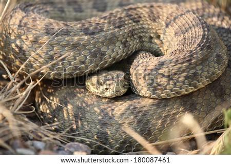 Rattlesnake curled beside a Saskatchewan road - stock photo