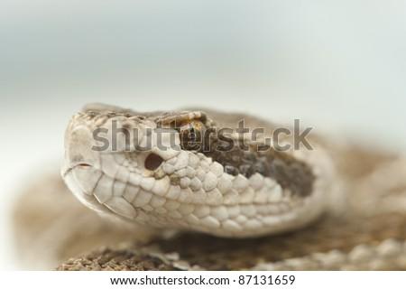Rattlesnake head extreme closeup - stock photo