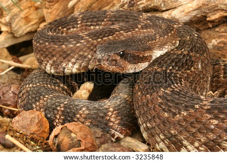 Rattlesnake, Southern Pacific