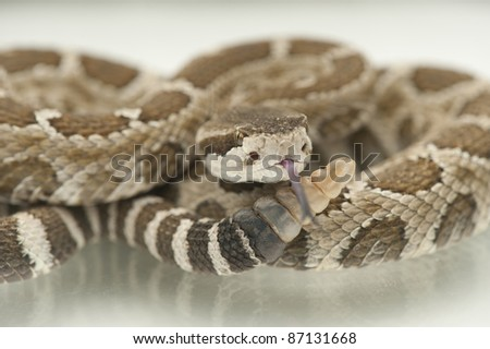 Rattlesnake, tongue out, showing rattles - stock photo