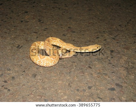 Rattlesnake with albinism - stock photo
