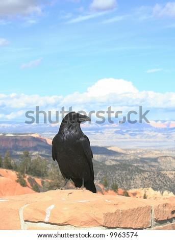 Raven - stock photo