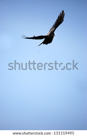 Raven A black raven is flying on the blue sky. - stock photo