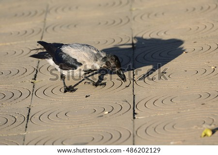 Raven bird isolated on background