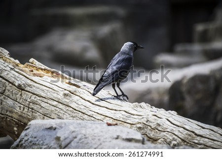 Raven black leaning on a tree branch - stock photo