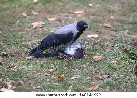 Raven crow attacked the pigeons - stock photo