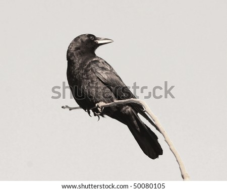 raven crow isolation - stock photo