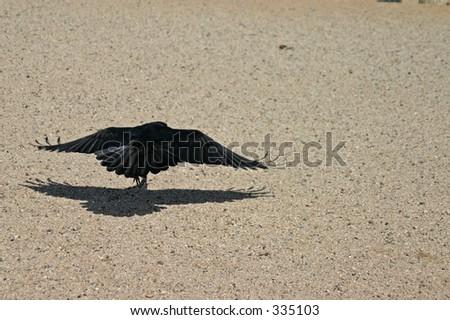 Raven Hop - stock photo