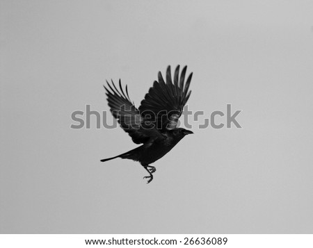 Raven in motion, desaturated. - stock photo
