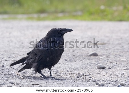 raven in the rockies - banff national park, canada - stock photo