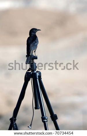 Raven on a tripod in a desert - stock photo