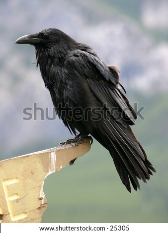 Raven perched on a sign post - stock photo