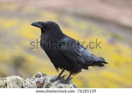 raven sitting on a stone. focus on head and wing. - stock photo