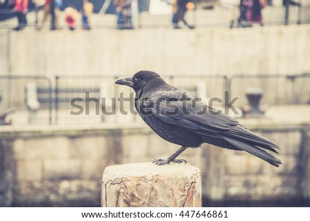 raven sitting on a stone. focus on head.(Vintage filter effect used) - stock photo