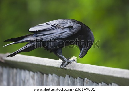 Raven sitting on wooden fence - stock photo