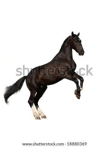 Raven trotter rearing, isolated - stock photo