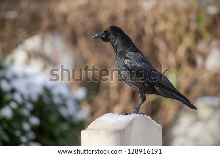 Raven waiting in a cemetery watching for food - stock photo