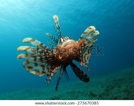 Ravenous lionfish hovering above seagrass and algae, looking for food - stock photo