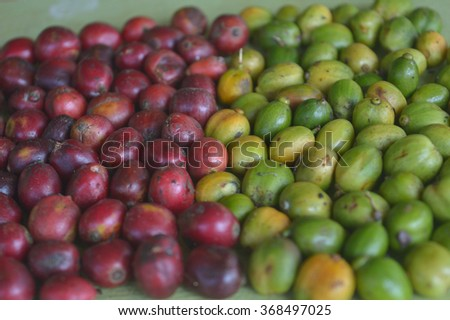 raw and ripe coffee berries