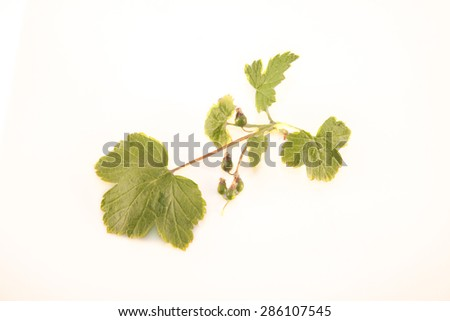 Raw black currant, ribes nigrum,isolated on white background