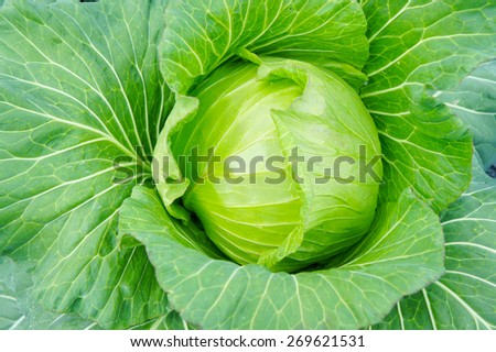 raw cabbage from top view - stock photo