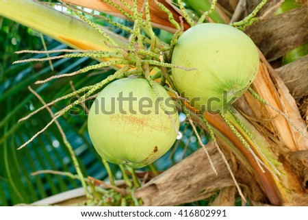 Raw coconut on coconut tree in the garden. Coconut juice comes from the belly of young coconuts. - stock photo