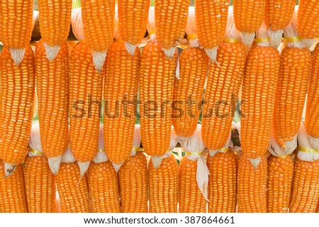 raw corn maize harvest in the agriculture farm - stock photo