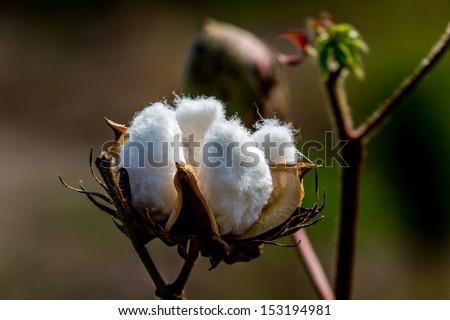 Raw Cotton Growing in a Cotton Field.  Beautiful Closeup of a Cotton Boll. - stock photo