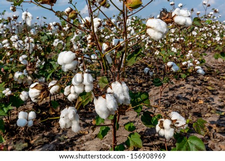 Raw Cotton Growing in a Cotton Field.  Beautiful Closeup of a Several Cotton Bolls. - stock photo