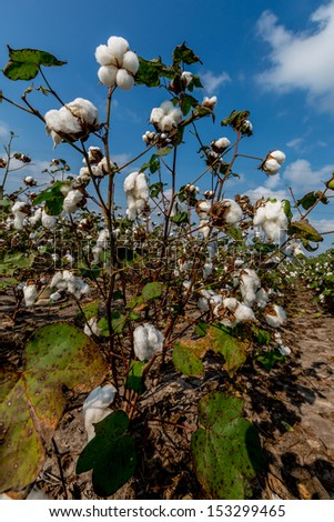 Raw Cotton Growing in a Cotton Field.  Cotton Bolls Growing on the Stalk in Texas. - stock photo