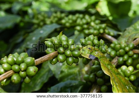 Raw green coffee beans arabica on tree in coffee plantation Wayanad Kerala india. coffee plants with leaf seeds of berries coffea. green coffee closeup view in Munnar coffee estate. Munar Kerala hill - stock photo