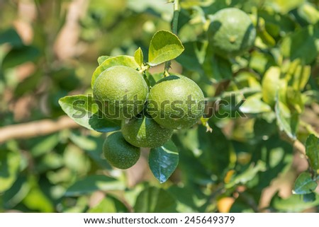 Raw lime on the tree - stock photo