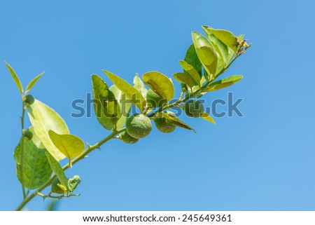 Raw lime on the tree and sky - stock photo