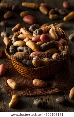 Raw Organic Fingerling Potatoes in a Basket - stock photo