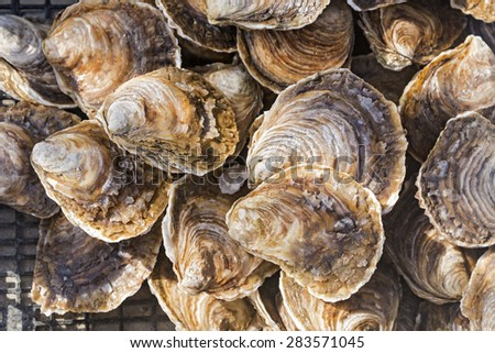 Raw oysters in the shell Close up of a pile of freshly cultivated oysters in the city of Cancale, France - stock photo