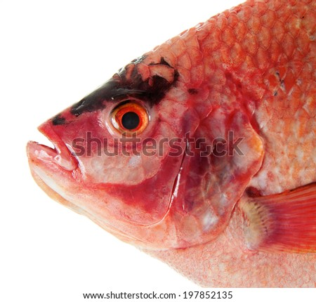 Raw Red tilapia isolated on white background - stock photo