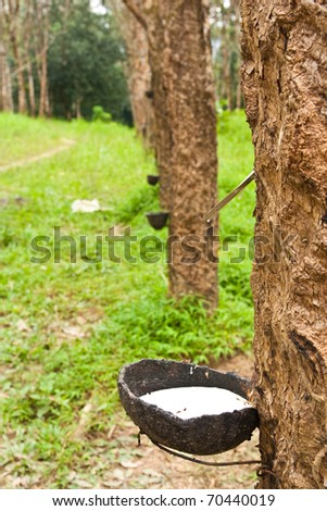 Raw rubber on the rubber tree. - stock photo